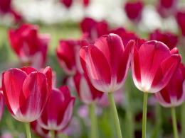 Free Red Tulips in Spring Wallpaper | Free Red Tulips in Spring 1987