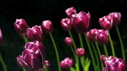 Spring Pink Tulips Wallpapers | HD Wallpapers 566