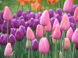 the season for tulips has begun and they are beautiful tulips come in 1863