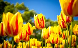 Red Yellow Tulips Wallpapers Pictures Photos Images 734