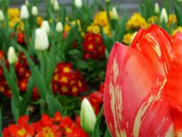 Spring Tulips 935