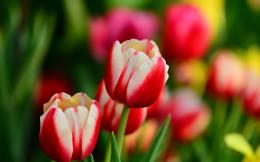 Buds Red And White Tulips Flowers Spring | 1280 x 800 | Download 437
