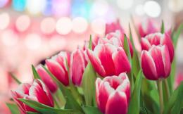 spring pink tulips bokeh hd wallpaper jpg 1662