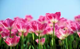 Tulips Flower Garden Wallpapers Pictures Photos Images 1880