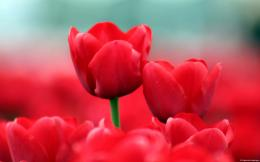 Red Tulips Wallpapers | HD Wallpapers 851
