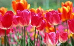 Spring Tulips 1370