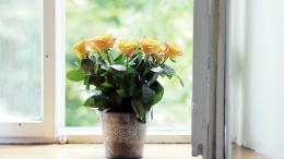 Yellow roses in a pot on the windowsill wallpapers and images 1698