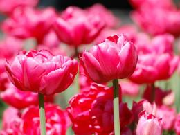 Pink Tulips wallpaper 1631