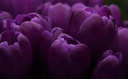 Similar wallpapers for Purple Tulips bulbs 830