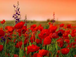 poppies, flowers, field, sharpness, summer 1600x1200 HD Background 625