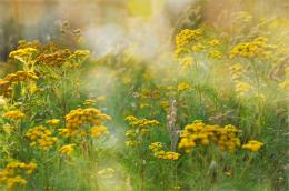 Summer tansy yellow field grass flowers wallpaper | 2048x1356 | 210681 1394