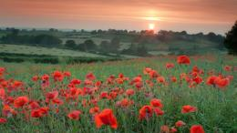 Wallpaper poppy, flower, field, summer, sunrise desktop wallpaper 1122