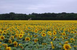 Description Field of sunflowers JPG 723