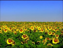 Sunflower Field 105