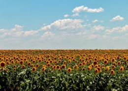 Description Sunflower Field jpg 953