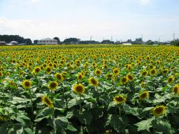 Description Tochigi Nogi Sunflower Field 1 JPG 1690
