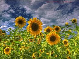 sunflower field wallpaper jpg 1983
