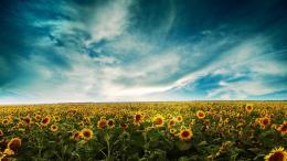 Sunflower field wallpaper #863 1955
