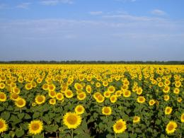 Sunflower Fields wallpaper 1247