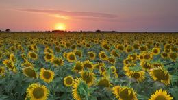 Sunflower field Widescreen Wallpaper#5557 1750