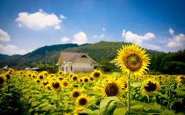 Summer sunflowers field Wallpapers Pictures Photos Images 1867
