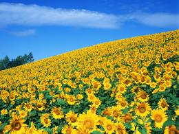 SUNFLOWER Field Images | FemaleCelebrity 367