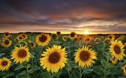 Sunflower Field Wallpaper 1769