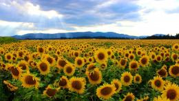 Sunflower field wallpaper 1496