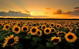 Sunflower Field Wallpapers Pictures Photos And Backgrounds 1492