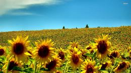 Sunflower field wallpaperFlower wallpapers#4125 1300