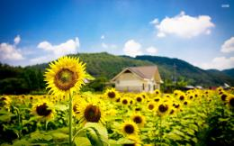 Sunflower field wallpaper Photography wallpapers #18545 1667