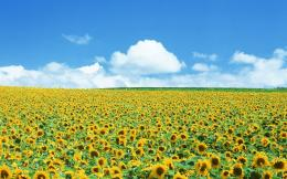 Sunflower field wallpaper #13985 527