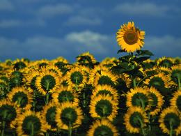Sunflower Field, Kansas 1347