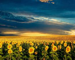 Sunflower fields wallpaper 1743