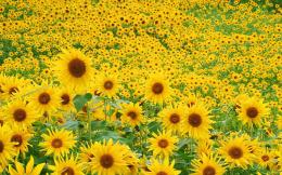 Sunflower Field Wallpapers | HD Wallpapers 1397