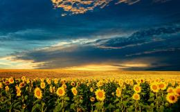 Sunflower Field1920x120016:10 872