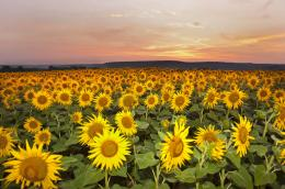 Sunflower Field 1920x1200 16:10 272