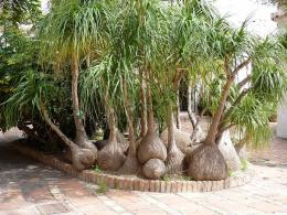 HomeTropicalsHouseplantsElephant Foot Bonsai Palm Trees 2 pc 1373