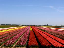 Tulip Field Wonderful Nature Flower Sky hd wallpaper #1442171 1237