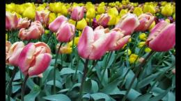 Wonderful Tulip FieldsYouTube 1250