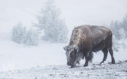 Winter In Yellowstone Photo Workshops | Juan APonsWildlife 1175