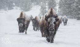 Photograph Snowy Bison, Yellowstone National Park by Juan Pons on 1579
