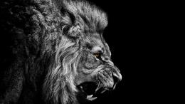 majestic angry lion black and white wallpaper 538ded228bfc7 jpg 1756