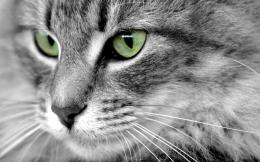 Beautiful EyesCats Wallpaper16249944Fanpop 754