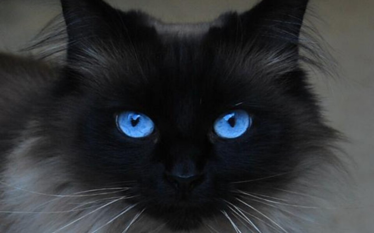 Beautiful Blue EyesCats Wallpaper16233668Fanpop 1772
