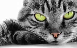 Green Eye Cat wallpaper 1787