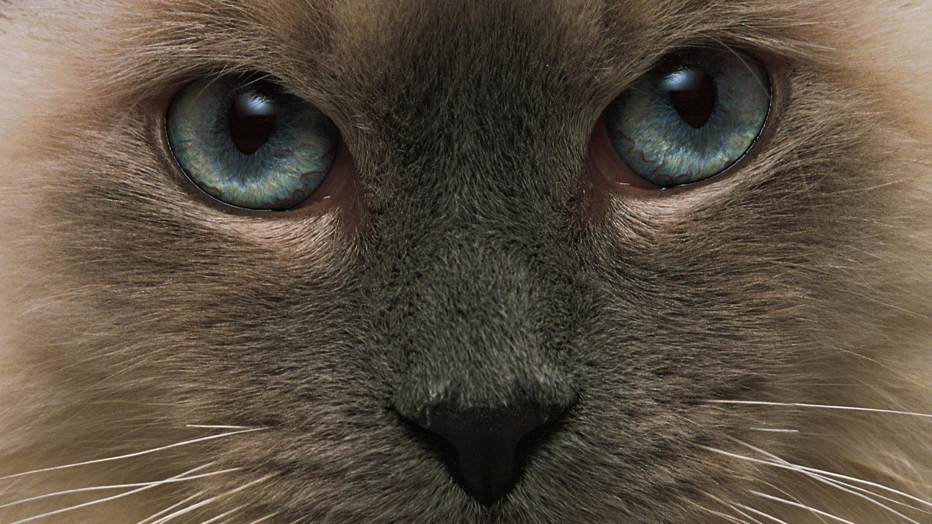 download cats eyes wallpaper tags feline nose eyes whiskers pretty 1808