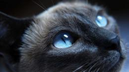 Cat Blue Eyes HD Wallpaper » FullHDWppFull HD Wallpapers 1920x1080 1705
