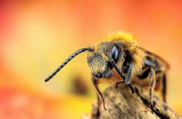 Bee Insect Macro Hd Wallpaper   Free HD Wallpapers 413