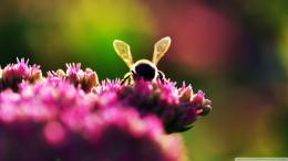 Bee On Pink Flowers Macro Wallpaper 1920x1080 Bee, On, Pink, Flowers 666